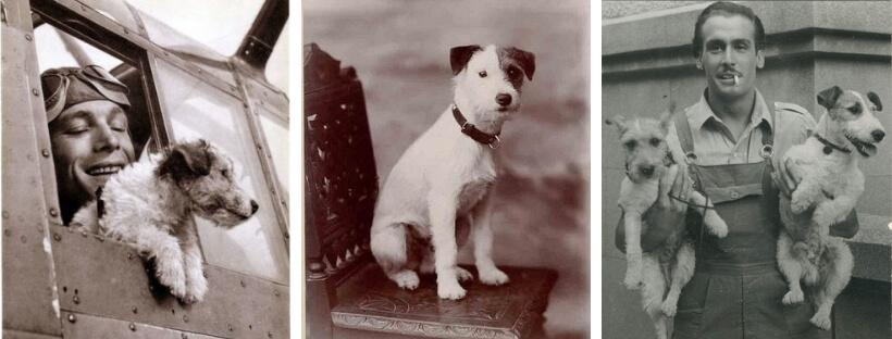istoriya-porody-jack-rassell-terrier