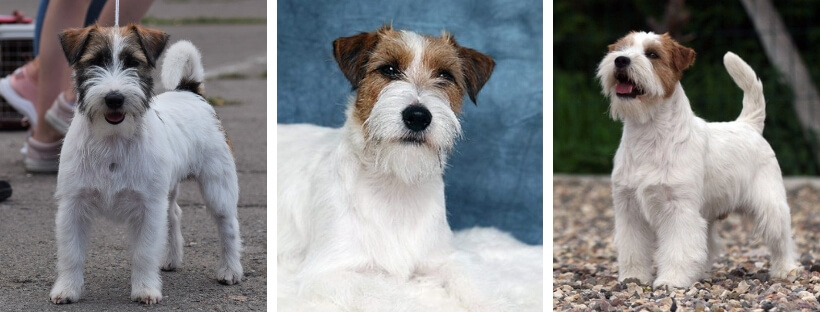 jack-rassell-terrier-tipy-coated wool