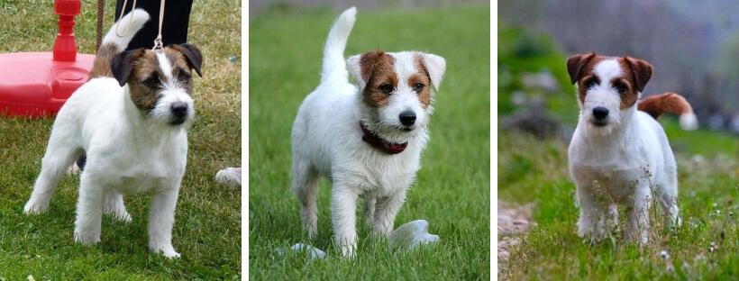 jack-rassell-terrier - tipy-shersti-broyken