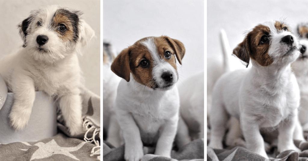 Собаки, щенки джек рассел терьера, питомник Elpis Star